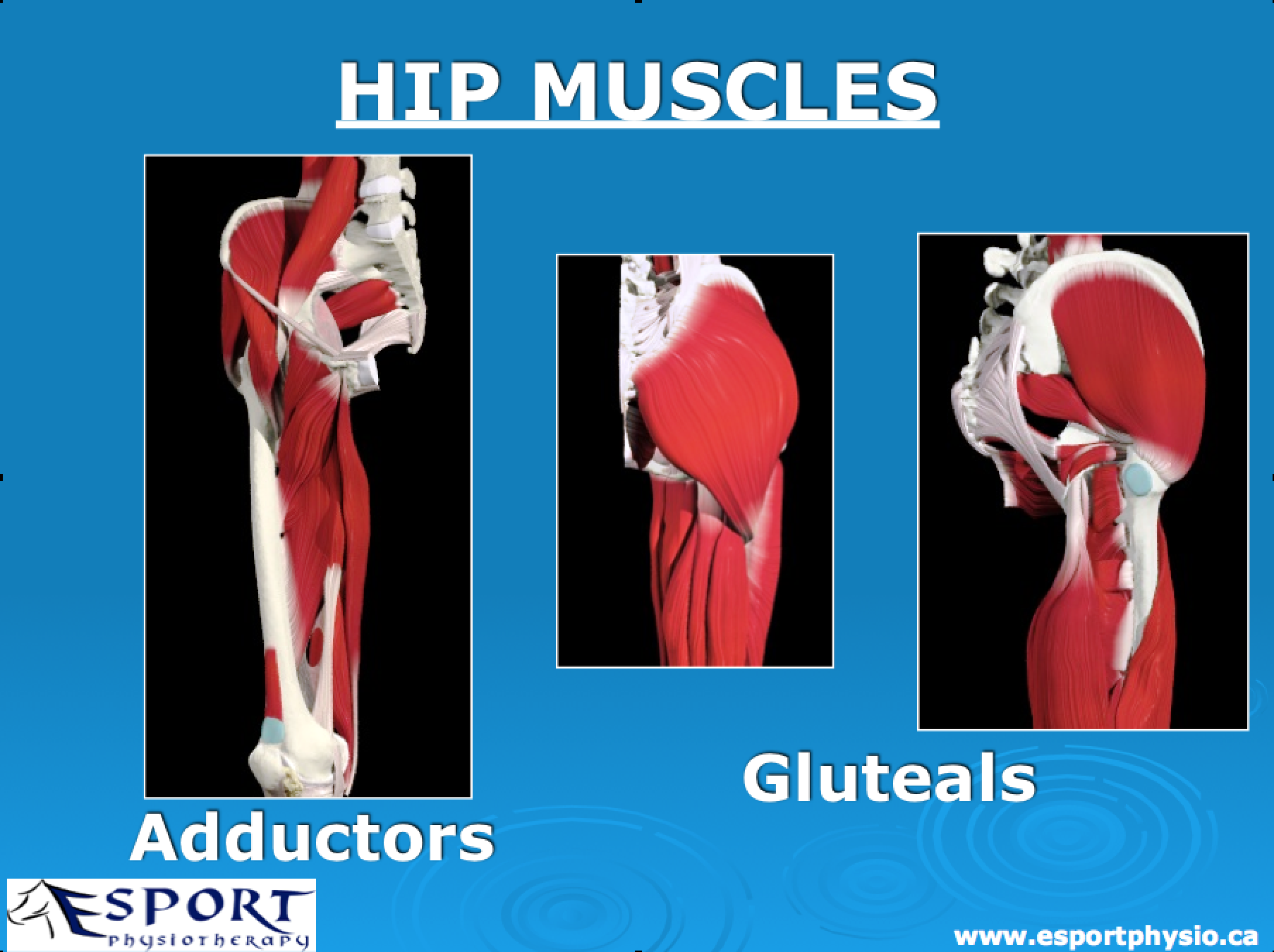 hip-muscles